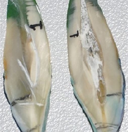 Avaliação in vitro da penetração de corante em dentes submetidos ao clareamento dental com peróxido de hidrogênio 35%